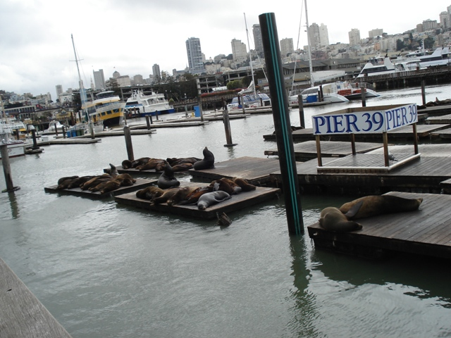 Pier 39, deniz aslanları (sea lions)