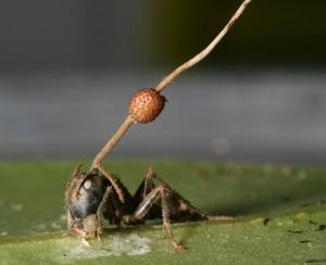 Zombi karıncalar: Cordyceps mantarı kurbanını öldürdükten sonra genelde beyninden dışarı büyüyor.